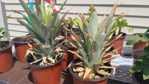 Grow a Pineapple Plant, Just for the Hell of it…
